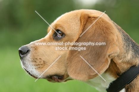 Beagle profile, blurred background