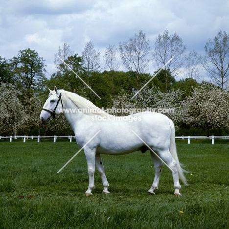 kladruber stallion, generalissimus XXV111, 782 favoury, at kradruby,