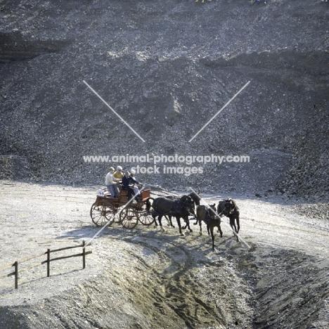mats allvik (sweden) at quarry zug 1981, swedish horses