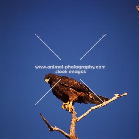 galapagos hawk on branch, punta espinosa, galapagos