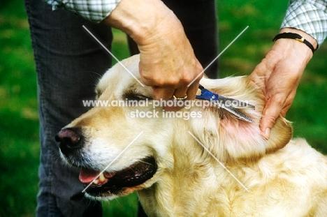 scissoring hair of a golden retriever' ear