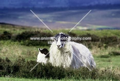 scottish blackface ewe and lamb on yorkshire moors