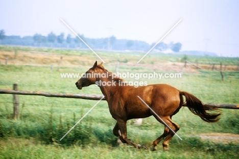hanoverian horse cantering