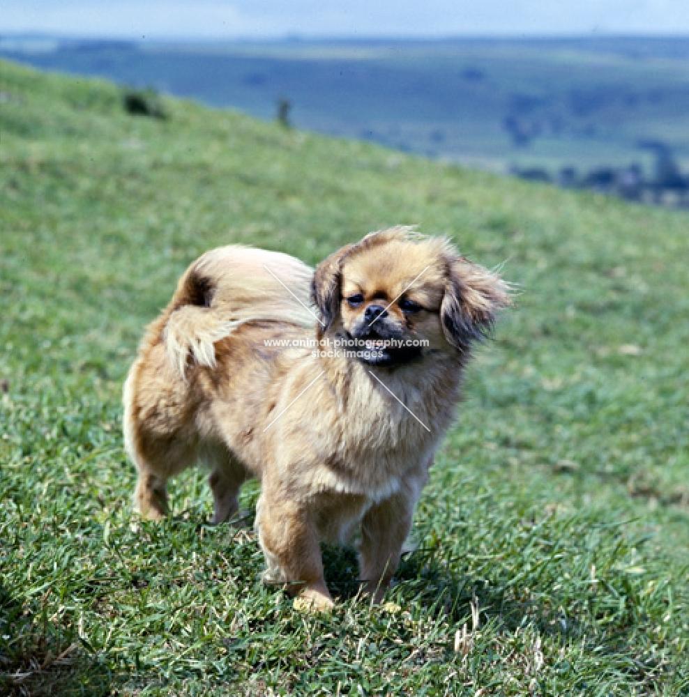 ch sivas mesa, tibetan spaniel standing on grass on the hillside