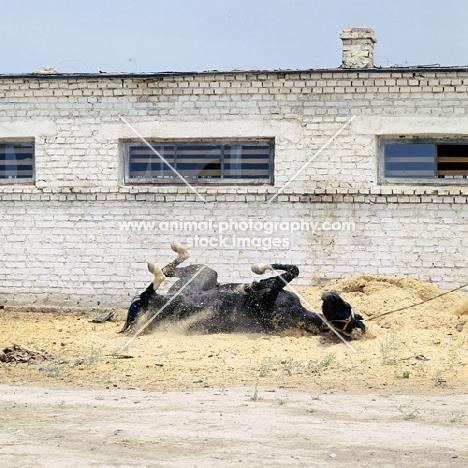akhal teke horse rolling on its back