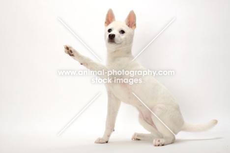 Kishu puppy, one leg up
