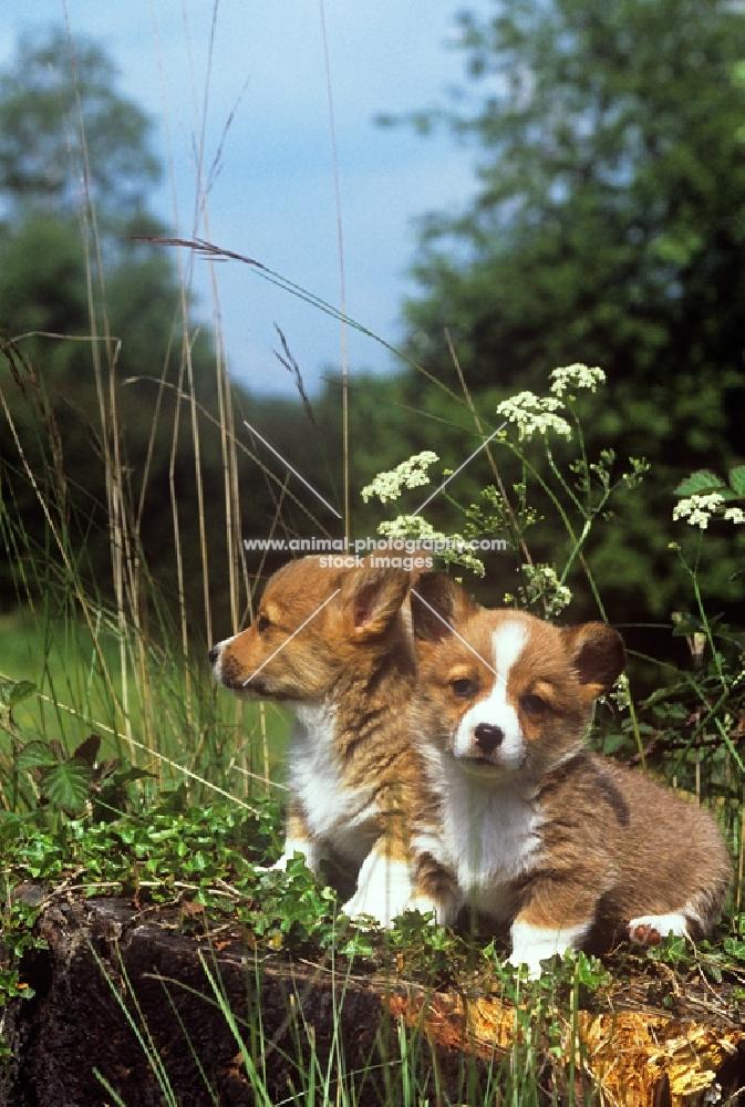 two pembroke corgi puppies on a log