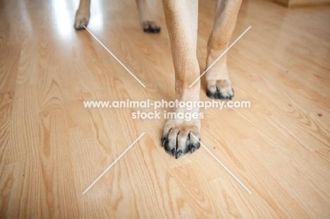 Close-up of a Fawn Mastiff's feet.