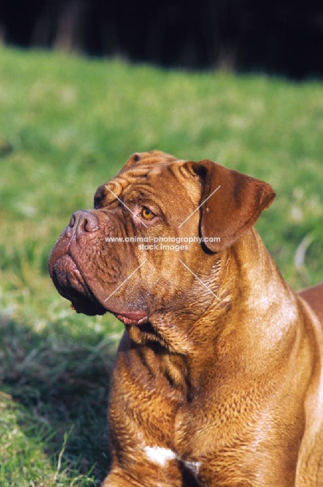 Dogue de Bordeaux looking away
