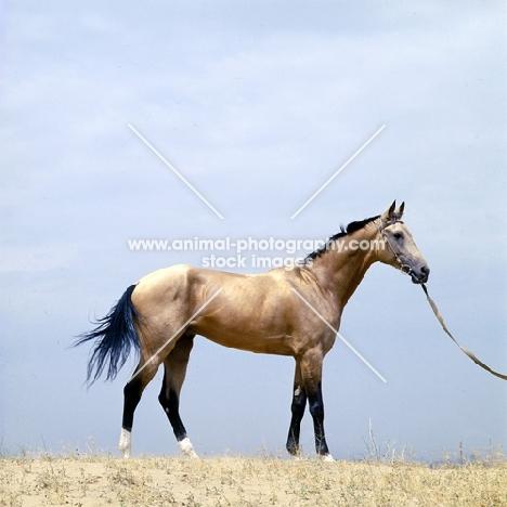 polotli famous akhal teke stallion at ashkhabad, turkmenistan,