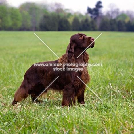 am ch pin oak's yankee doodle dandy, field spaniel in usa style coat