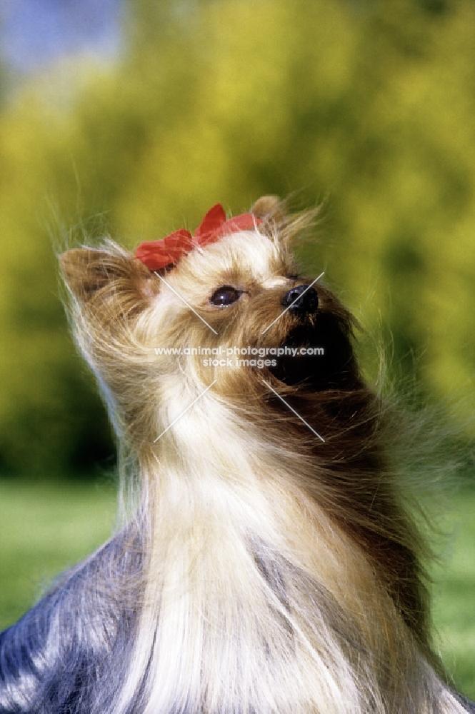 ch yadnum regal fare, yorkshire terrier, portrait