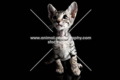 peterbald kitten on black background