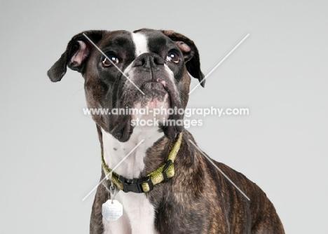 Studio image of brindle Boxer on gray background.