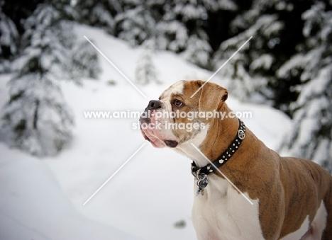 Old English Bulldog in winter