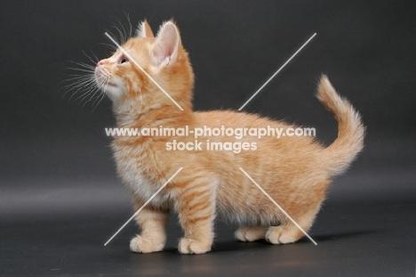 Red Mackerel Tabby Munchkin kitten, side view