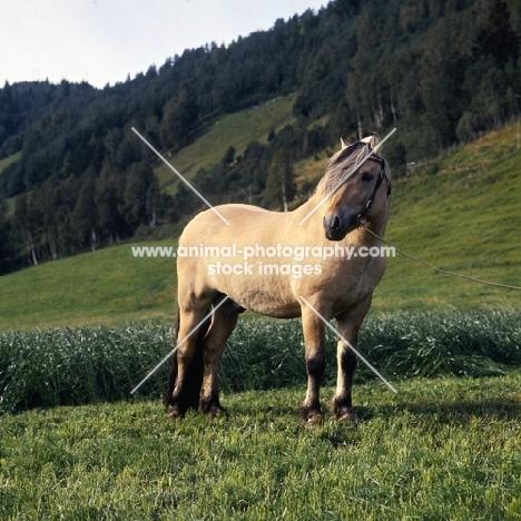 Maihelten 1692, Fjord Pony  stallion