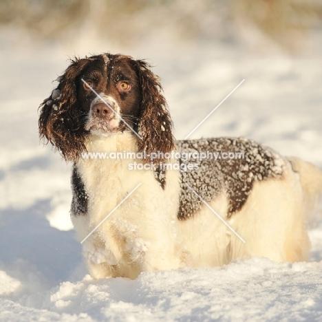 English Springer Spaniel in winter