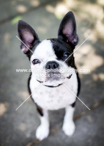 Smiling Boston Terrier.