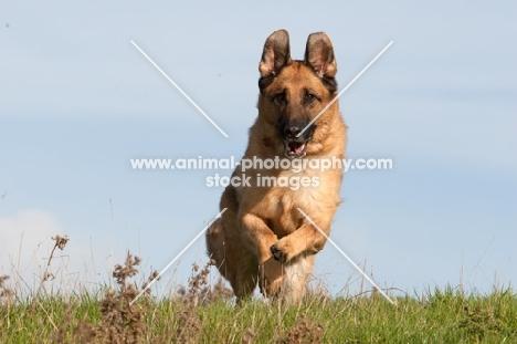German Shepherd Dog (Alsatian) in motion