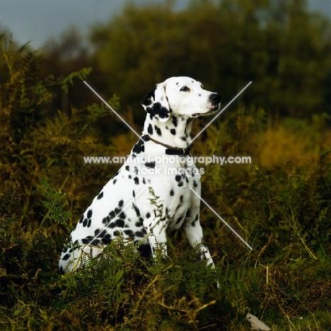 dalmatian sitting in bracken