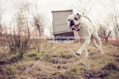 American Bulldog running on grass