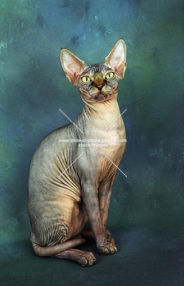 sphynx cat sitting