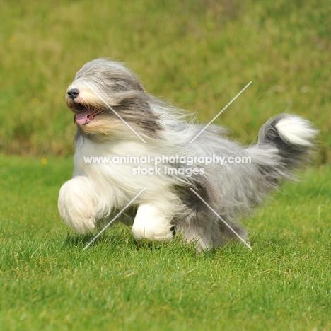 Bearded Collie running