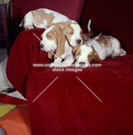 three Basset Hound pups sleeping