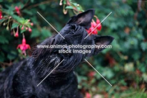 scottish terrier against flowers