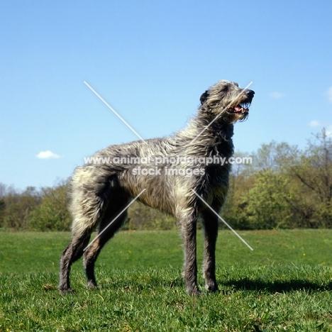 am ch cruachan barbaree olympian, deerhound standing in a field