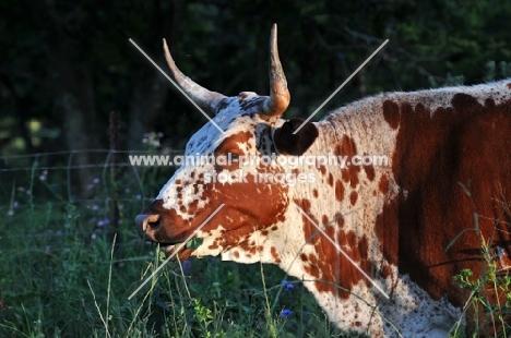 Nguni Cattle grazing