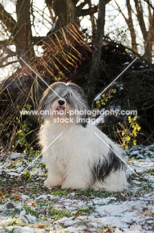Polish Lowland Sheepdog (aka Nizinny)