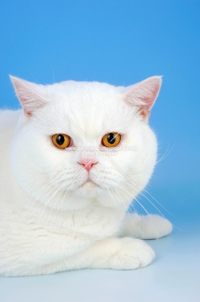 Animal Photography | white british shorthair cat, orange ... White Cat With Orange Eyes