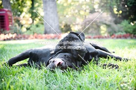 two black english labradors lying in grass