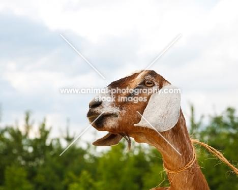 nubian goat portrait