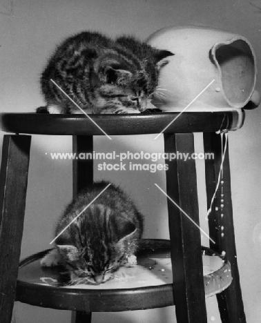 kittens licking up spilled milk