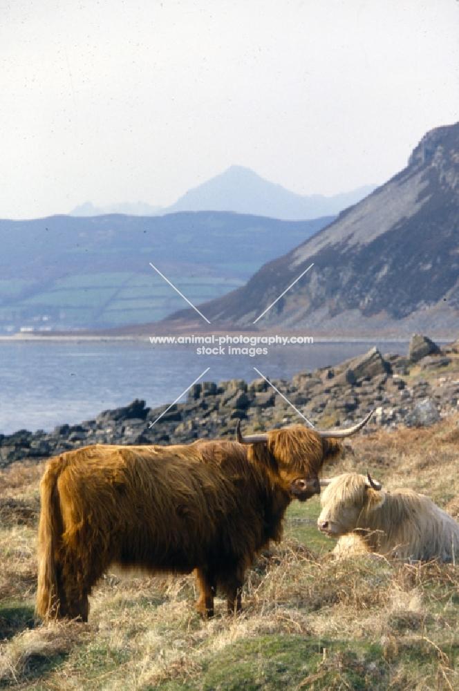 two highland cows on eriskay island