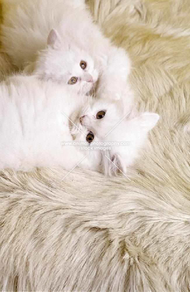 orange eyed white long haired cat and kitten