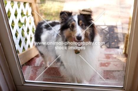Sheltie looking in front of door