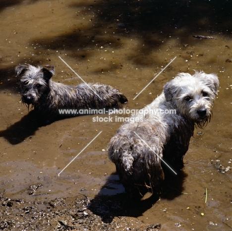 two glen of imaal terriers looking mischievous in muddy water