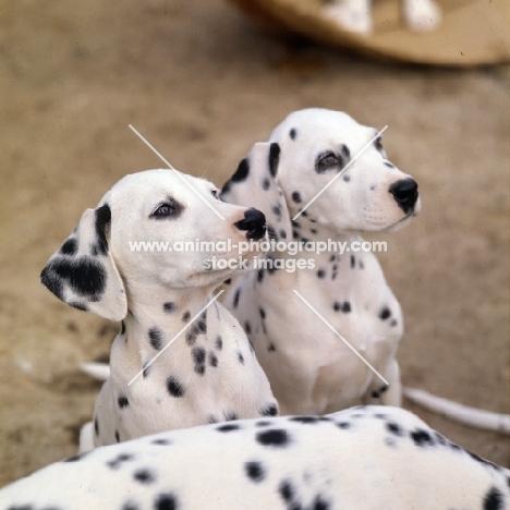 dalmatian puppies head shot