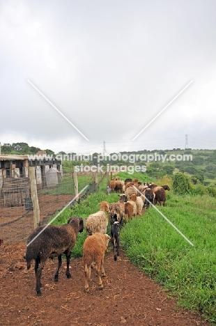 Nguni sheep