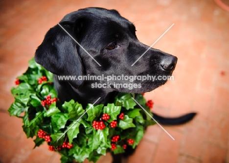 black Labrador Retriever wearing wreath