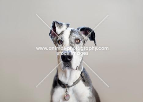 Great Dane staring at camera.
