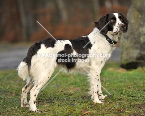 German Spaniel (aka Deutscher Wachtelhund) side view