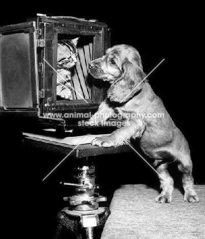 Cocker Spaniel puppy with kitten in camera