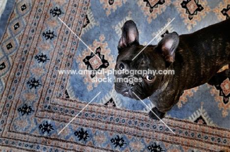 French Bulldog looking at camera on patterned rug