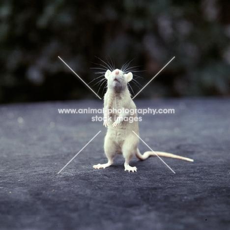 cream rat standing on hind legs