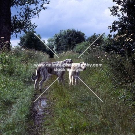 two irish wolfhounds on a path